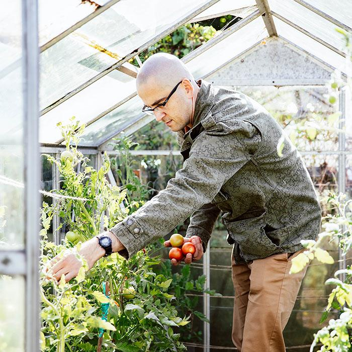 An image of a man picking tomatoes from his green house.